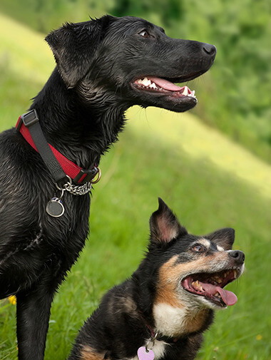 Black labrador and crossbreed dog standing together