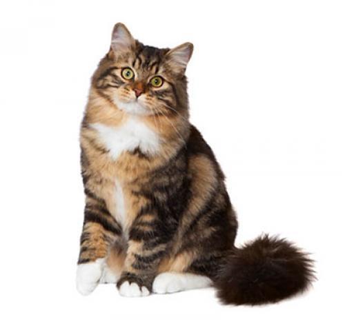sibirisk katt ålder